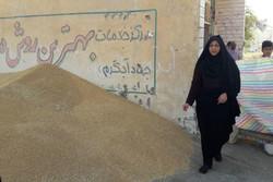 ۲۴۳ هزار تن گندم از کشاورزان استان قزوین خریداری شد