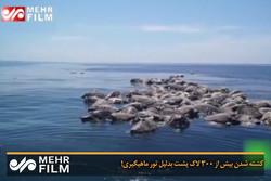 فلم/ مچھیروں کے جال میں پھنس کر 300 سے زائد کچھوے ہلاک