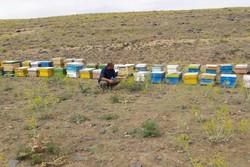 ۴۶ تن عسل در زنبورستان های شهرستان آبیک تولید شد