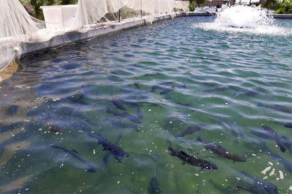 برخورد قضایی در انتظار واحدهای غیرمجاز پرورش ماهی