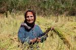 مجلس با ممنوعیت کشت برنج مخالفت کرد/کشاورزان به خشکهکاری روی آوردند