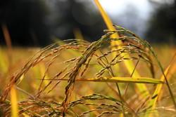 نخستین جشن «شکرانه برنج» در شادگان برگزار می شود