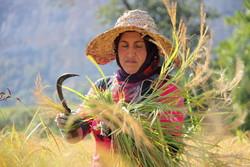 ممنوعیت کشت برنج به مصوبه مجلس نیاز دارد/۸۴ درصد تولید در استانهای شمالی است