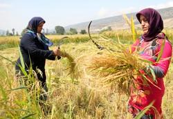 برداشت برنج از شالیزارهای استان گلستان