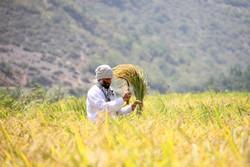 خرید بیش از ۳۲ تن برنج از کشاورزان الموت غربی