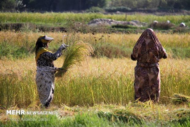 Rice harvest in Golestan