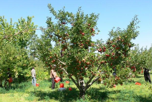 نزدیک به ۲ هزار تن سیب به مرحله باردهی نرسیده است