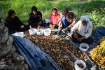 تعاون روستایی خرمای خوزستانی را به صورت حمایتی خریداری می کند