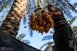"""موسم جني ثمار الرطب والتمر في قرية """"ابو دبس""""جنوب غرب ايران/صور"""