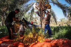 صادرات خرمای بم به ۵۰ کشور/ پیش فروش محصول در بازار بین المللی