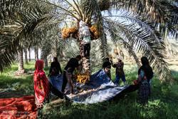 Date harvest in Karun County