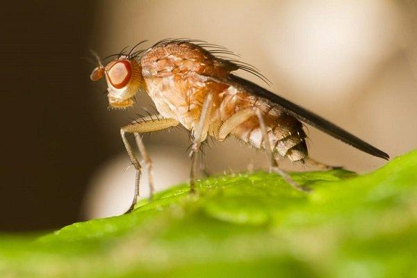 ردیابی مگس میوه به بیش از ۱۰۰۰ هکتار از باغات آمل