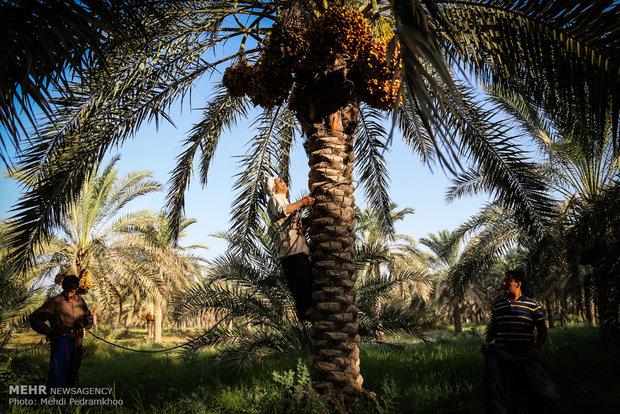 برداشت خرما و رطب در روستای ابو دبس شهرستان کارون