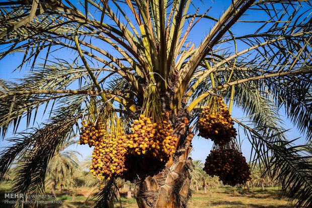 Dates harvest in Karun County