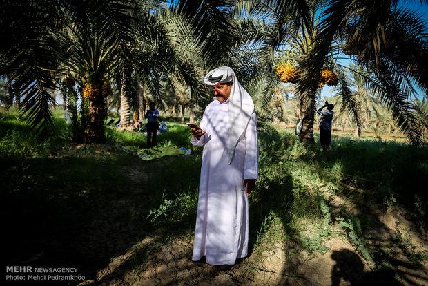"""موسم جني ثمار الرطب والنمر في قرية """"ابو دبس"""""""