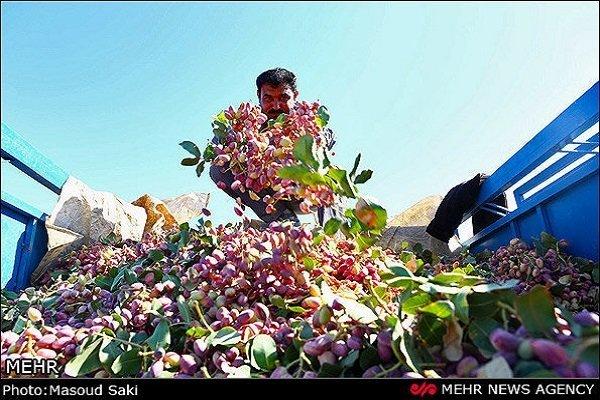 تولید پسته در شهرستان ارزوئیه کاهش نیافته است