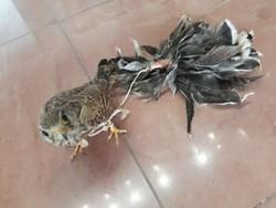 شکارچی «بازهای شکاری» در نوار مرزی گلستان دستگیر شد