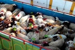 کامیون حامل ۷۷ راس دام قاچاق در سنندج توقیف شد