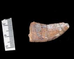 تبدیل دندان به دایناسور کامل/یک کلاغ چهل کلاغ در اخبار موزه برزیل