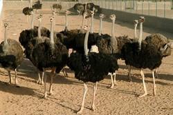 صادرات ۱۲۵۰ قطعه جوجه شتر مرغ تولیدی در گیلان به خارج از کشور