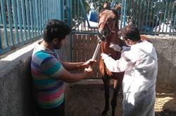 ۲۱۱ رأس اسب علیه بیماری کزاز در قزوین واکسینه شدند