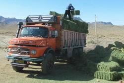 توزیع علوفه برای آهوان منطقه شکار ممنوع قراویز