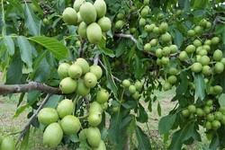 حجم تولید گردو در باغات اصفهان ۴۰ درصد کاهش یافت