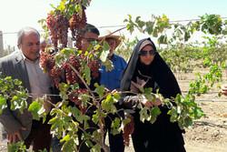 ۵۲۰۰ هکتار باغ انگور در استان قزوین داربستی شد