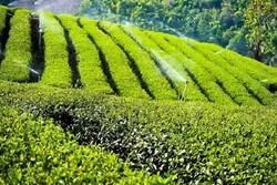 کشف بیش از ۳۰۰ کیلوگرم چای تقلبی در گنبدکاووس