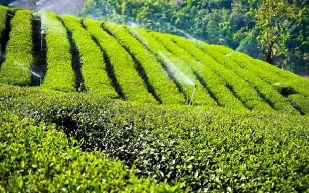 جزئیات تخصیص اعتبار برای ساماندهی تولید و خرید تضمینی چای