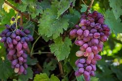 ۸۳ هزار تن انگور از تاکستانهای استان زنجان برداشت میشود