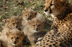 Asiatic cheetahs spotted for 3rd time this year in central Iran