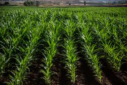 حمایت ژاپن از کشاورزان در مقابل پیمان تجارت آزاد با اروپا