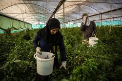 قصرشیرین، شاهراه خاموش اقتصاد کشاورزی