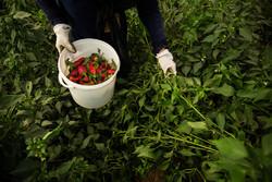 رکورد سه تا۱۰ برابری میانگین تولیدات کشاورزی در البرز