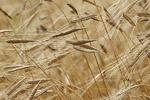 محصول جو در  ۴۱ هزار هکتار از زمینهای کشاورزی زنجان کشت می شود