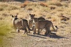 تصاویر ۳ قلاده پلنگ ایرانی در منطقه حفاظت شده پرور ثبت شد