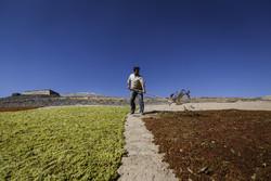 ملایر میں انگوراتارنے اور انھیں کشمش میں تبدیل کرنے کی فصل کا آغاز