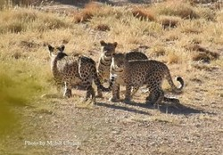 Leopard cubs seen in north-central Iran