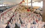 قیمت مرغ رکورد زد/ قیمت از مرز ١٢ هزارتومان عبور کرد