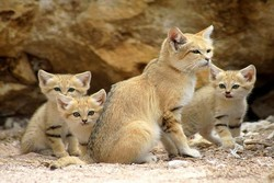 زادآوری گونه نادر گربه شنی در منطقه حفاظت شده مظفری فردوس
