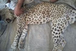 یک قلاده پلنگ در شاهرود تلف شد/ کهولت سن عامل مرگ