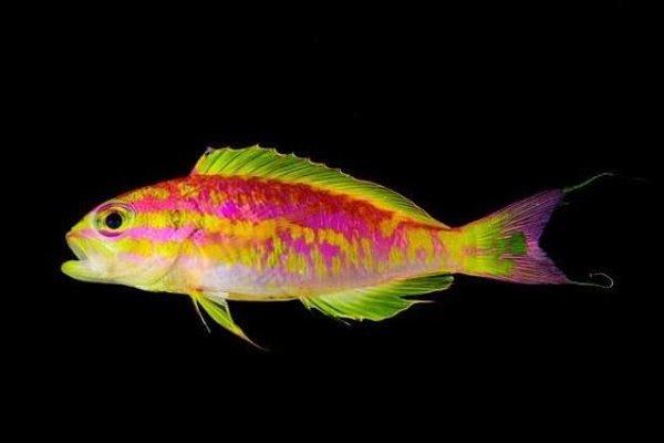 گونه جدید ماهی با رنگ های نئونی کشف شد
