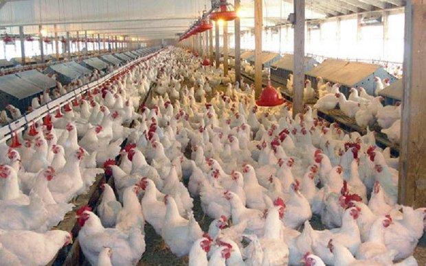 قیمت مرغ در استان بوشهر کنترل شود/ برخورد با مرغداریهای متخلف