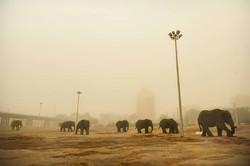 فیل های اهواز بر روی خط مهاجرت