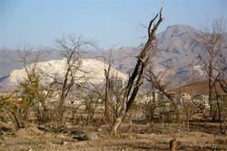 تیشه خشکی به ریشه درختان ۱۰۰ ساله