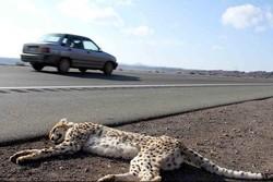 میزان مرگ و میر «یوزپلنگ ایرانی» در تصادفات جاده ای