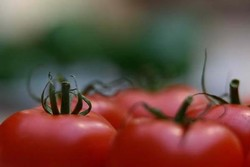 Exports of greenhouse tomato confirmed