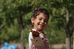 """قطف العناب في """"بيرجند"""" شرق ايران /صور"""