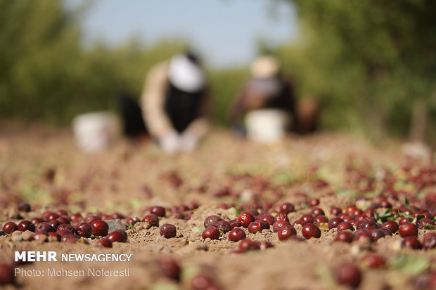Jujube harvest in Birjand